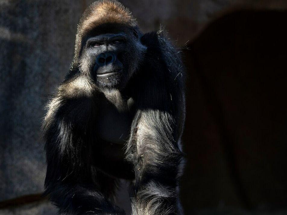 Grandes simios reciben una vacuna contra la COVID-19 para animales en un zoo estadounidense