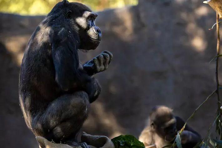 Fotografía de dos miembros del grupo de gorilas