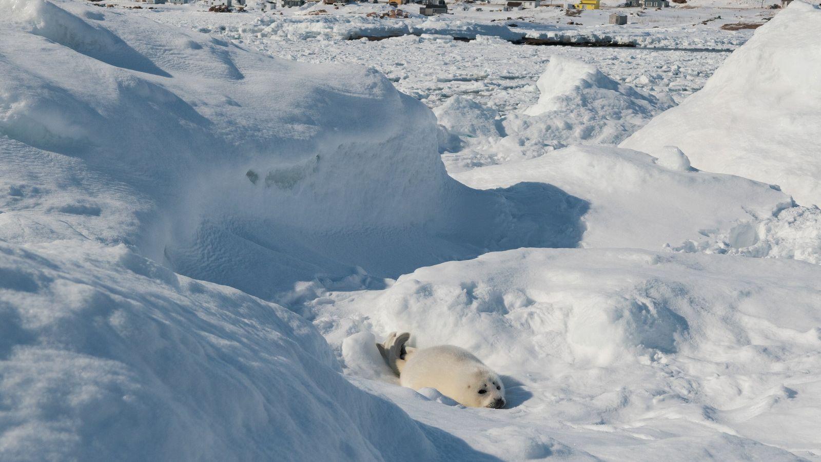 Una cría de foca de Groenlandia