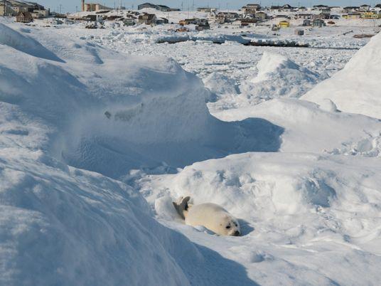 Las crías de foca de Groenlandia están muriendo en una playa de Quebec por la falta ...