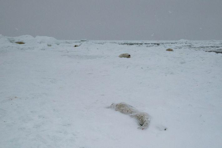 Una cría muerta yace en la playa cerca de Blanc-Sablon