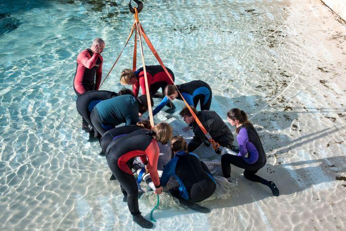 El personal sujeta una ballena en una eslinga