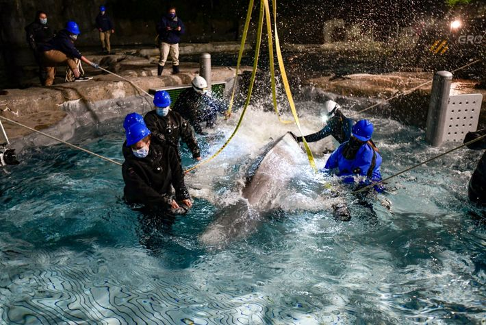 Beluga en la piscina de observación