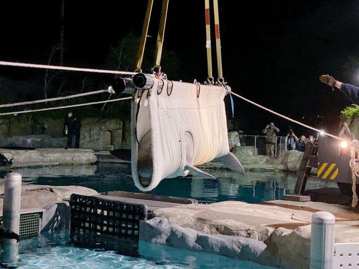 Una grúa baja poco a poco a una beluga a una piscina médica