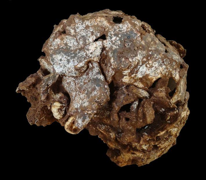 Fotografía del cráneo de Mtoto