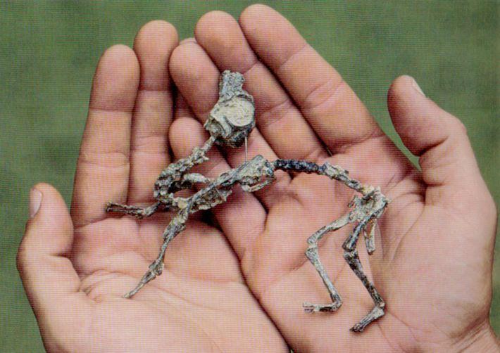 Cría de Mussaurus