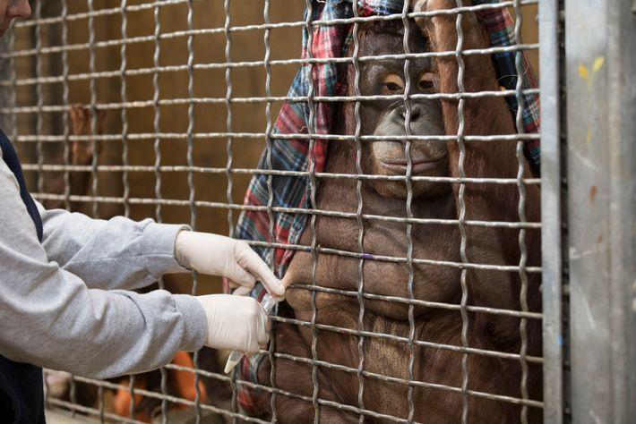 El orangután Batang