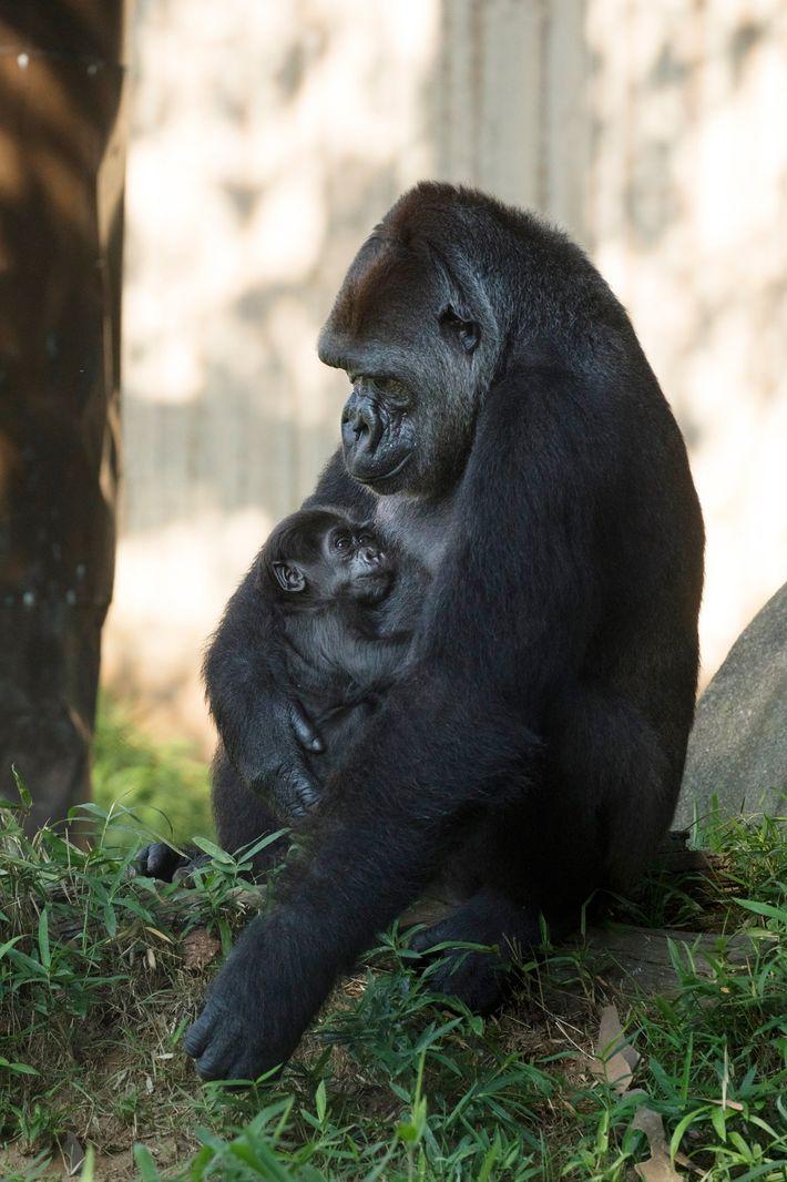 La gorila Calaya