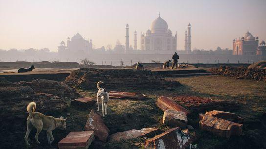 Perros callejeros cerca del Taj Mahal