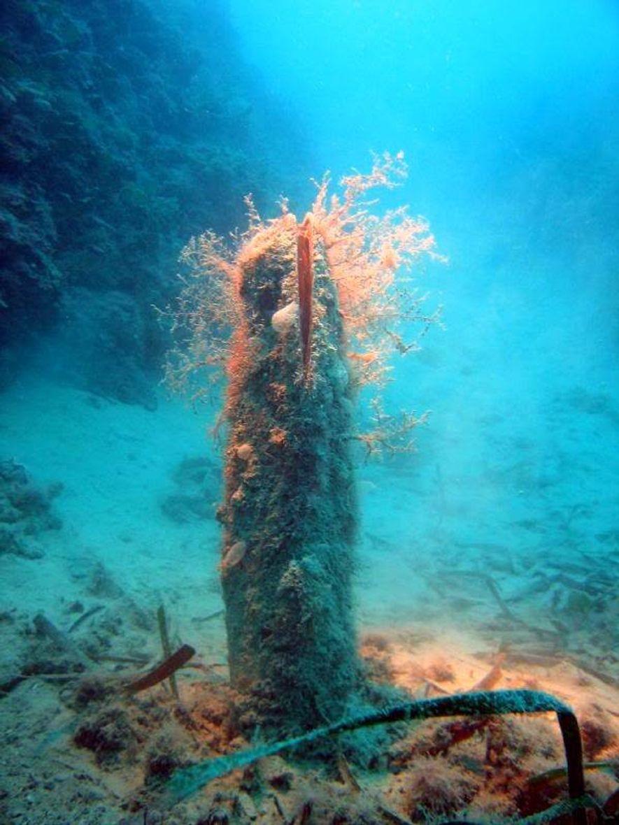 Las devastadas poblaciones de este emblemático molusco, endémico del Mediterráneo, se encuentran en situación crítica.