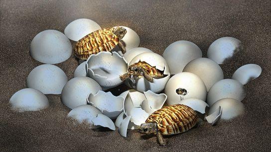 Infografía de huevos de tortuga eclosionando