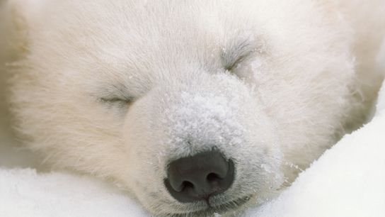 Un joven oso polar duerme