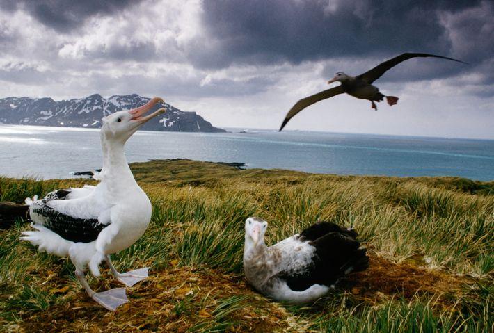 Una pareja de albatros viajeros en la isla de Georgia del Sur
