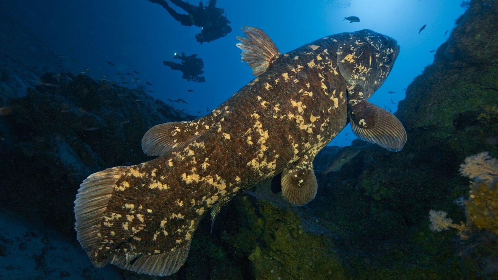 Un celacanto nada en la bahía de Sodwana, en Sudáfrica