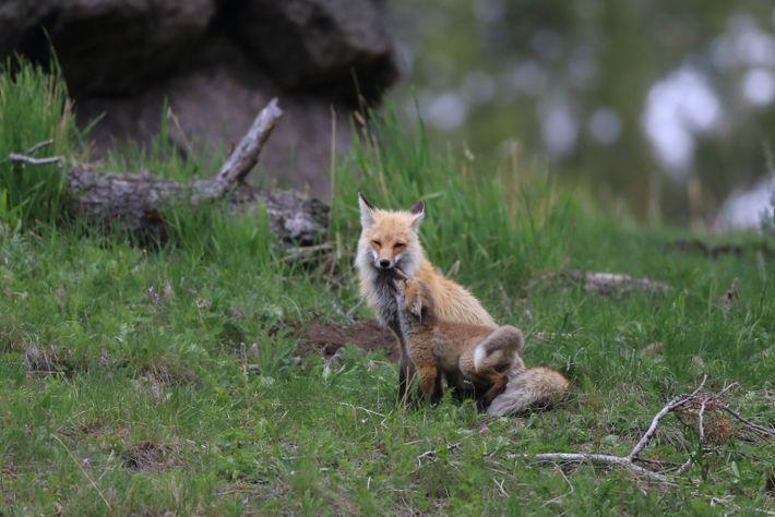 Un cachorro de zorro rojo «besa» a su padre