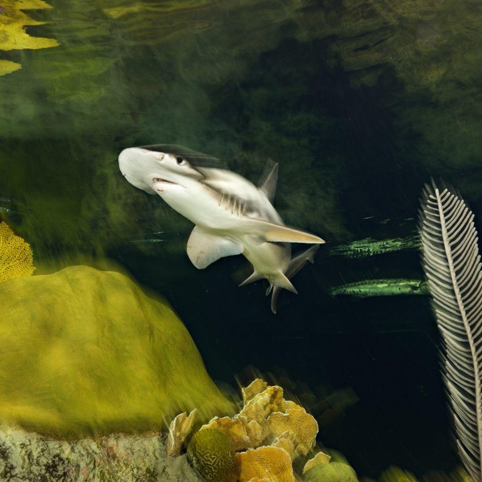 Los tiburones se orientan mediante el campo magnético de la Tierra, según confirma un estudio por ...