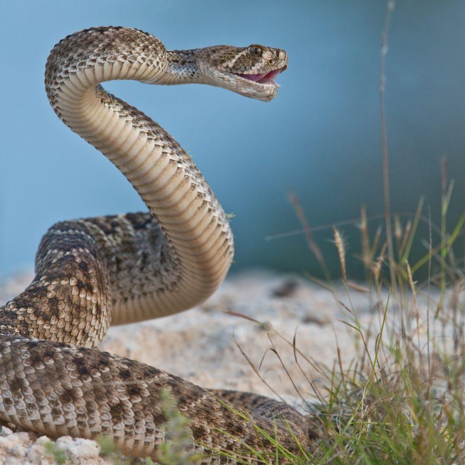 Cómo engañan las serpientes de cascabel a los humanos sobre dónde están exactamente