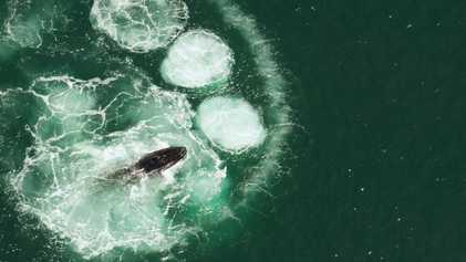 Las ballenas jorobadas no pueden tragarse a un humano: te explicamos por qué