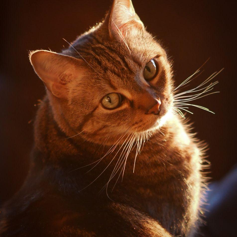 Descubren como consiguen sus rayas los gatos domésticos