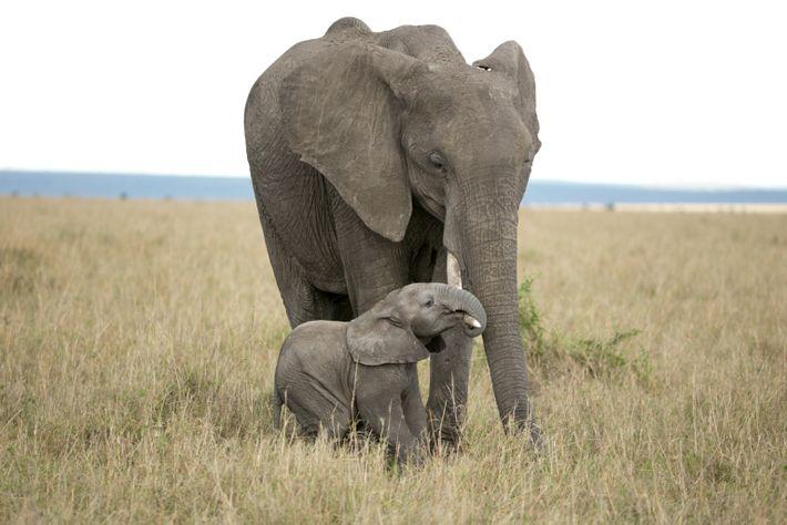 Un elefante recién nacido intenta colgarse del colmillo de su madre