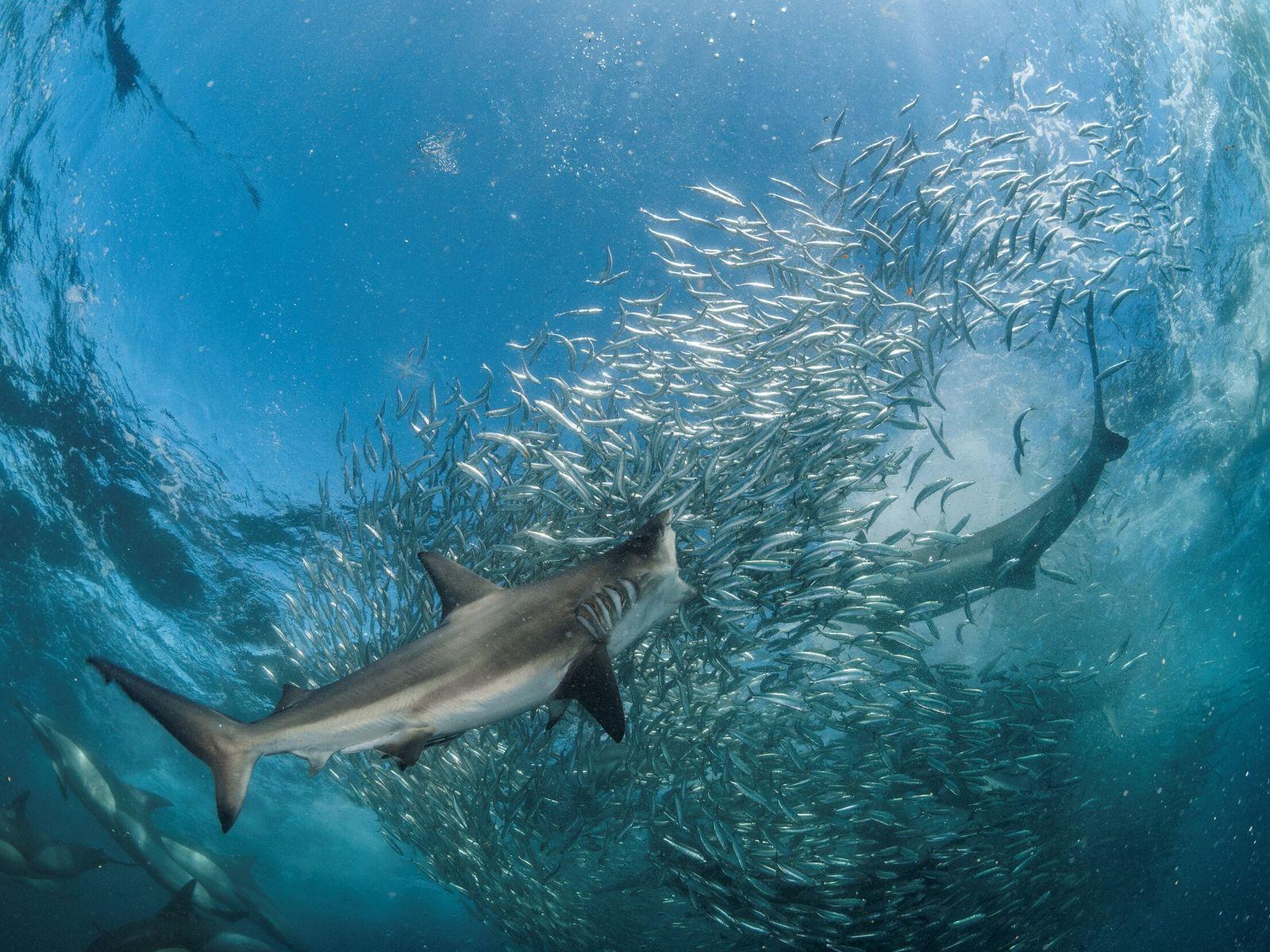 Especies tiburones Mediterráneo