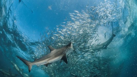 ¿Qué especies de tiburones habitan el Mediterráneo?