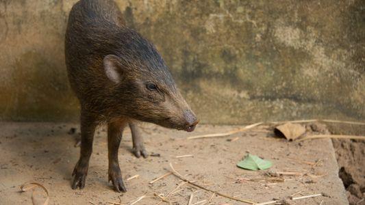 El cerdo más pequeño del mundo, considerado extinto en el pasado, regresa a la naturaleza