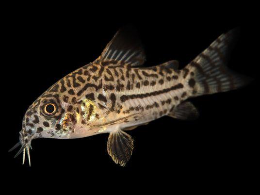 ¿Cómo sobreviven estos peces amazónicos a los mordiscos de las pirañas?