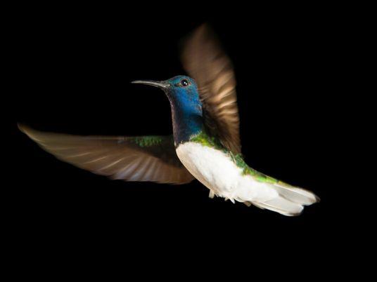 Por qué algunas hembras de colibrí se 'disfrazan' de machos