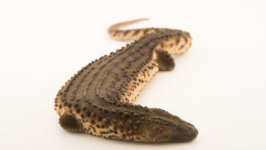 Un lagarto poco conocido revela cómo los zoos pueden desempeñar un papel en el tráfico de ...