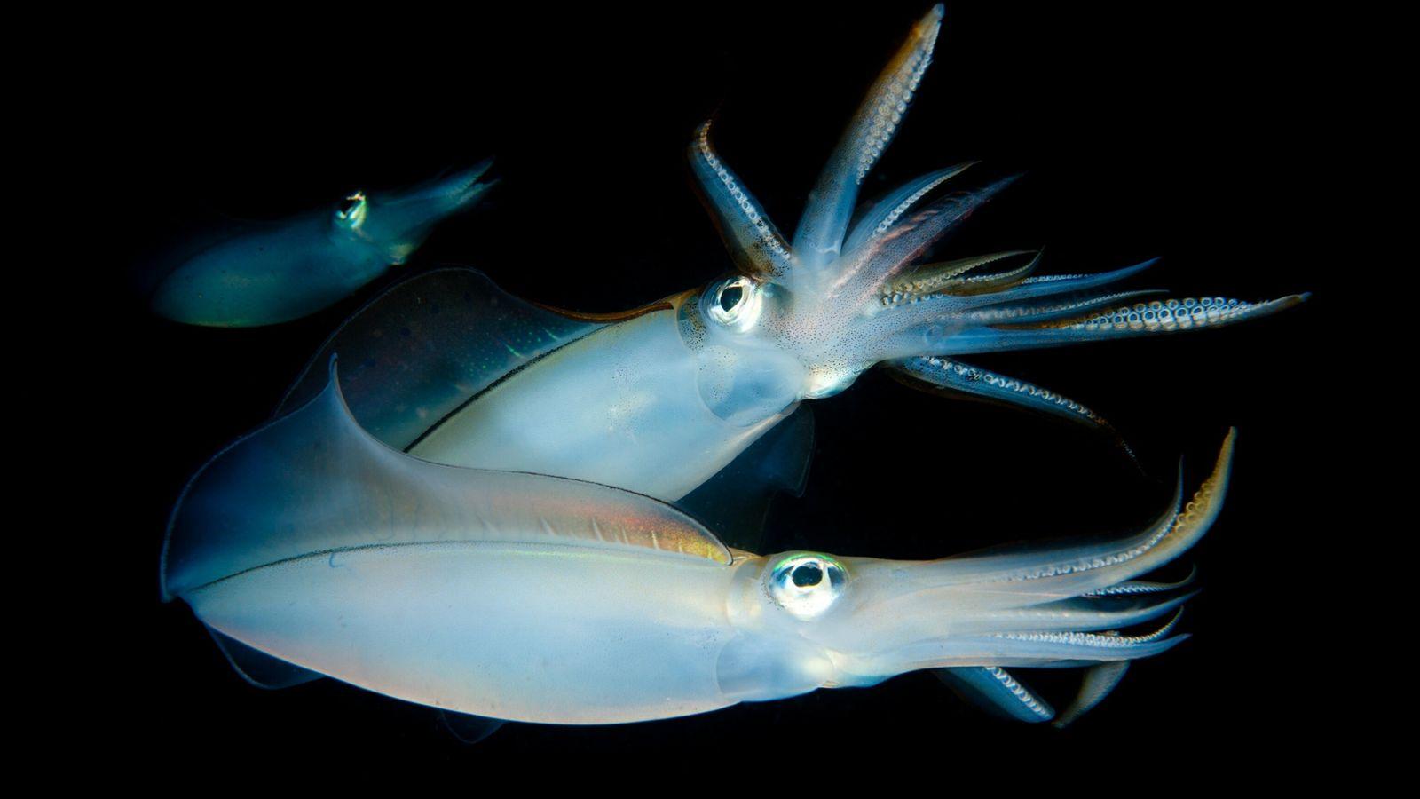 Calamares ovalados