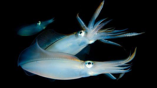 Las extrañas costumbres parentales de los calamares y la búsqueda del hogar familiar