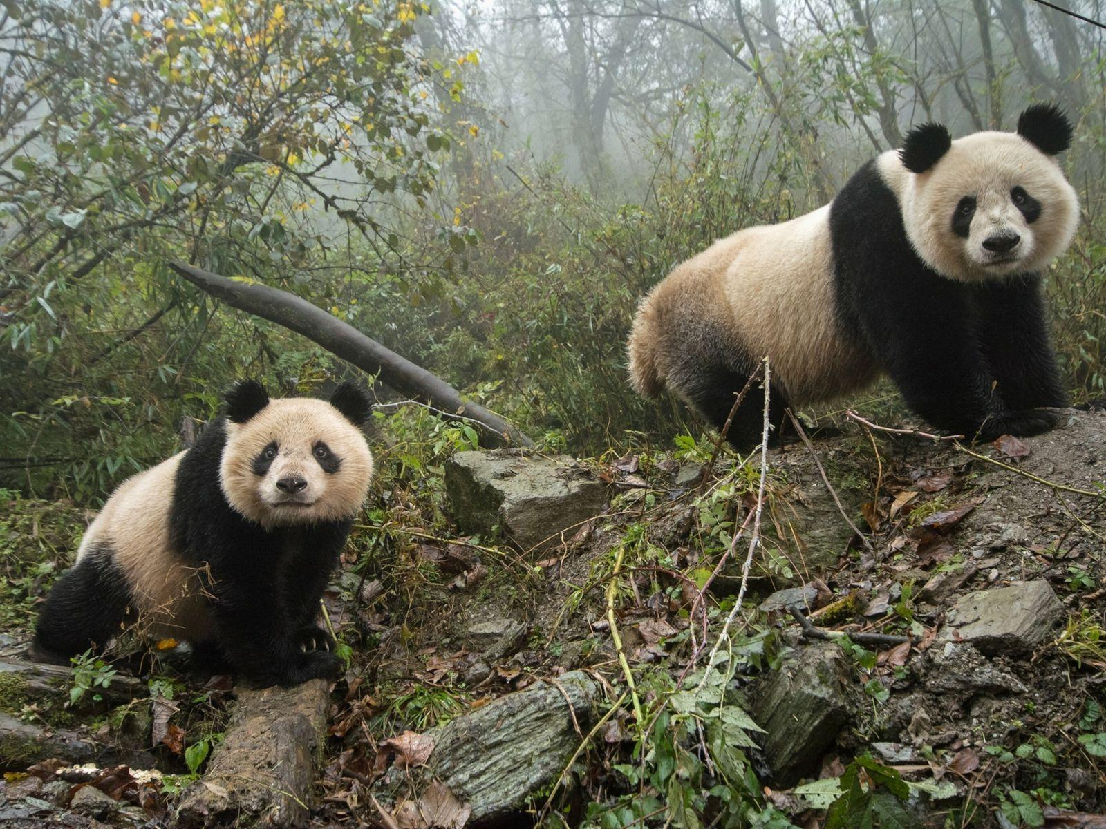 Pandas en China