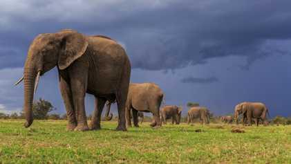 Las dos especies de elefante africano se encuentran en peligro de extinción