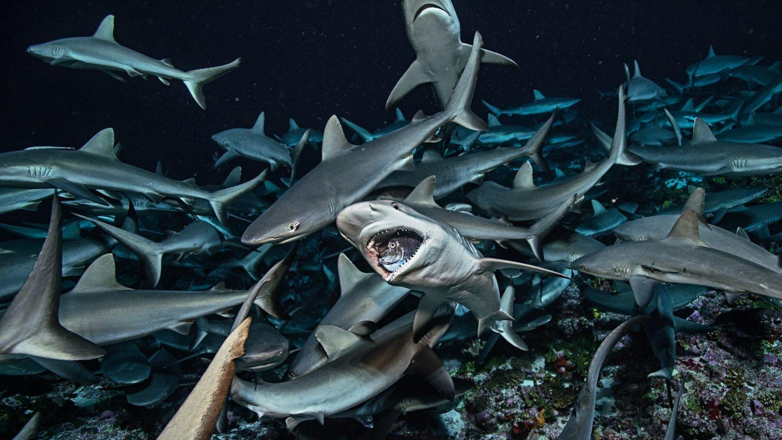 Tiburones de arrecifes