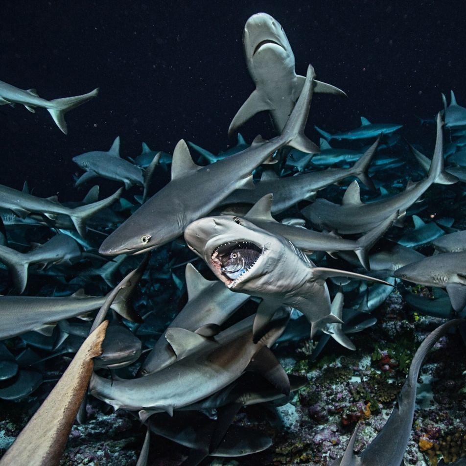 Así mantienen los tiburones la salud del océano
