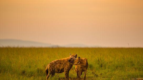 Un cachorro de hiena manchada lame a su madre