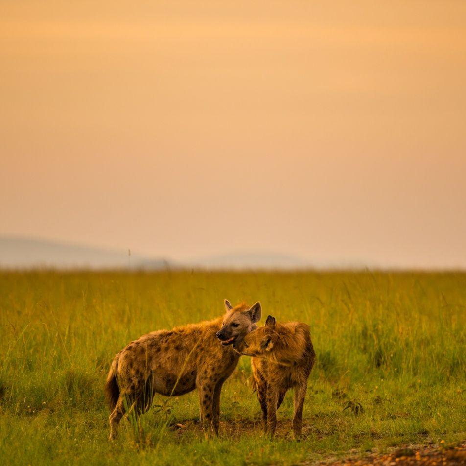 Un parásito que controla la mente vuelve a los cachorros de hiena más imprudentes cerca de ...