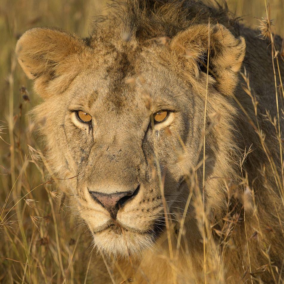 Los genes de los leones de las cavernas podrían frenar el desplome de las poblaciones de ...