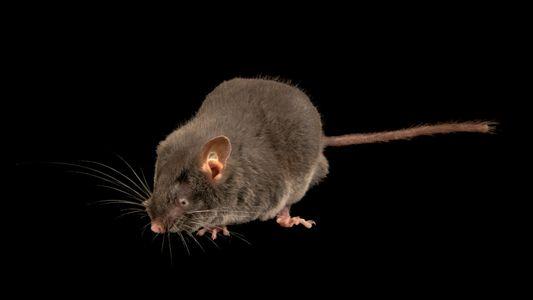 Estos lirones ciegos pueden «ver» con los oídos, una novedad en roedores