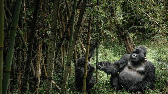 Un gorila de espalda plateada y un gorila joven