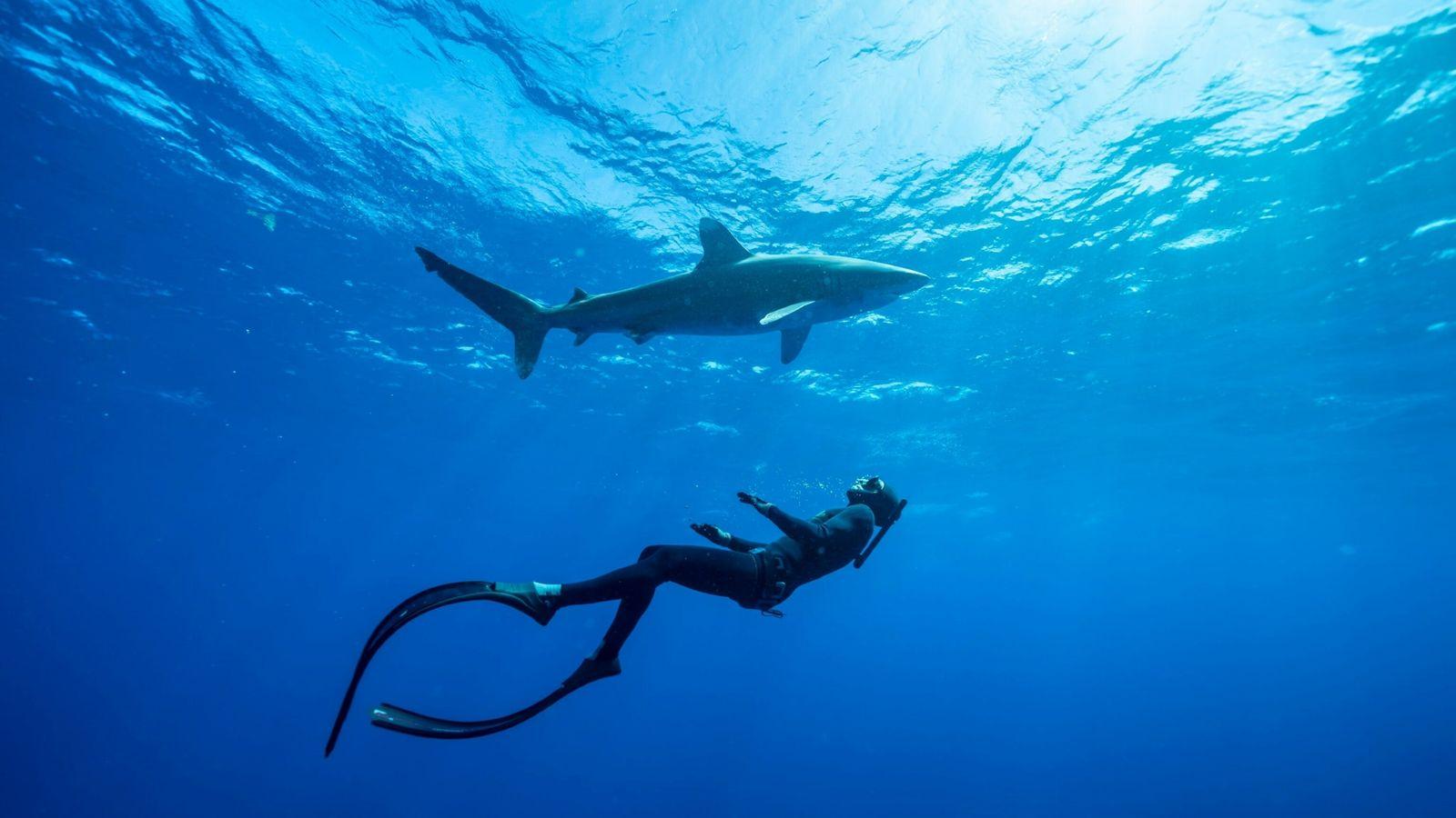 Un buceador nada con un tiburón oceánico en las Bahamas