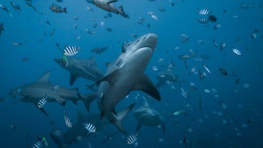 Encuentran a las crías de uno de los tiburones sarda más grandes del mundo: ¿por qué ...