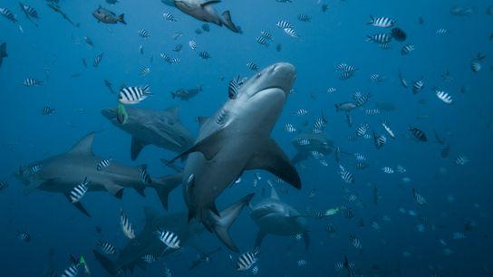 Tiburones sarda