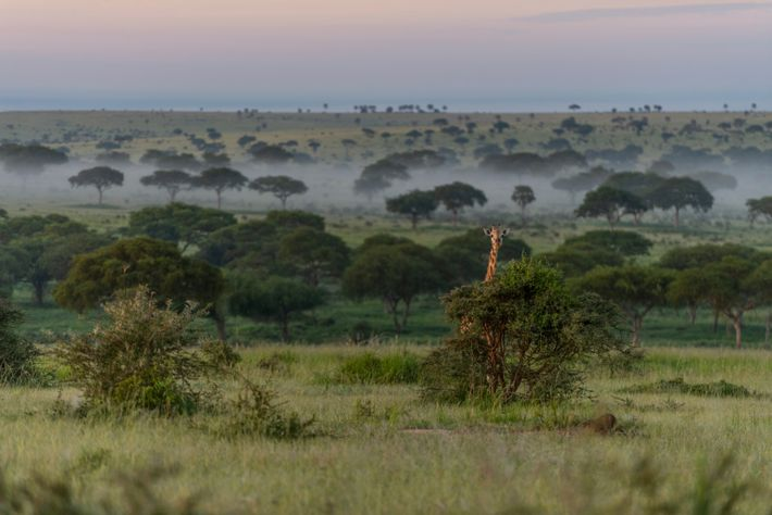 Una jirafa de Rothschild