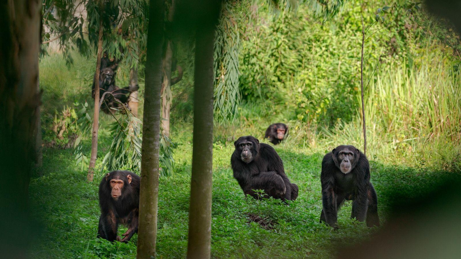 Un grupo de chimpancés en Uganda