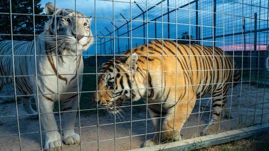 Los problemas legales de los protagonistas de «Tiger King» podrían transformar la industria