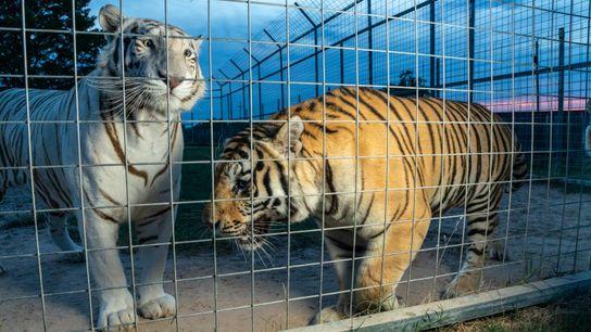 Los tigres miran a través de la verja en el G.W. Exotic Animal Park