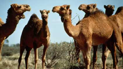 ¿Por qué sacrifica Australia miles de camellos y dromedarios salvajes desde helicópteros?