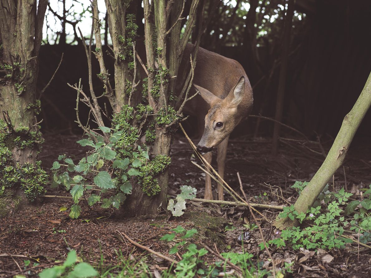 Un ciervo se recupera de un accidente en el Centro de Protección de Flora y Fauna ...